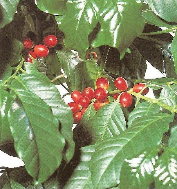 Комнатное растение - кофейное дерево.