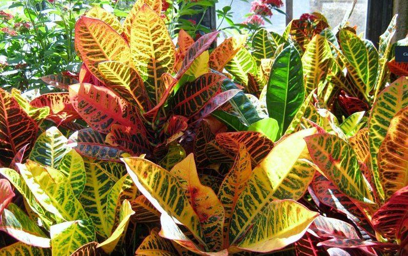Кротон - невероятно красивое растение.