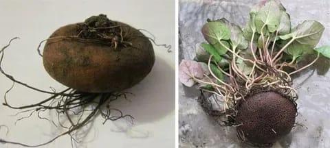От поверхности клубня отходят придаточные корни