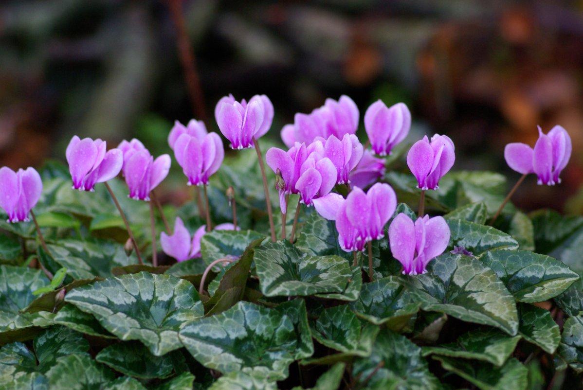 Внешне цветки сходны со стайкой экзотических бабочек, опустившихся на короткий отдых