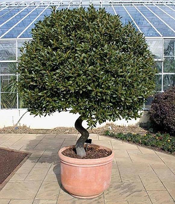 Лавр, сформированный в виде деревца с компактной кроной