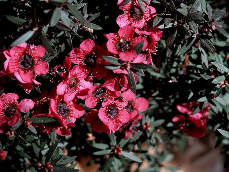 Цветки лептоспермума