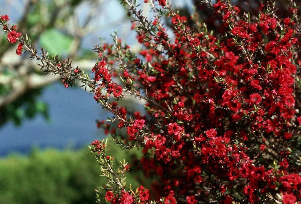 Лептоспермум – король кадочных растений