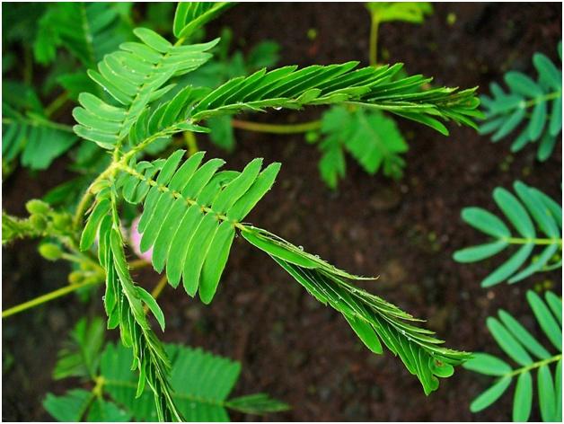 При малейшем прикосновении мимоза складывает листики