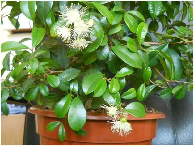 Мирт Обыкновенный – единственный вид, растущий в комнатных условиях