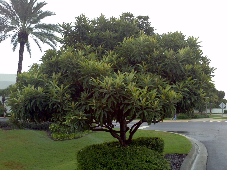 Мушмула растет как небольшое деревце