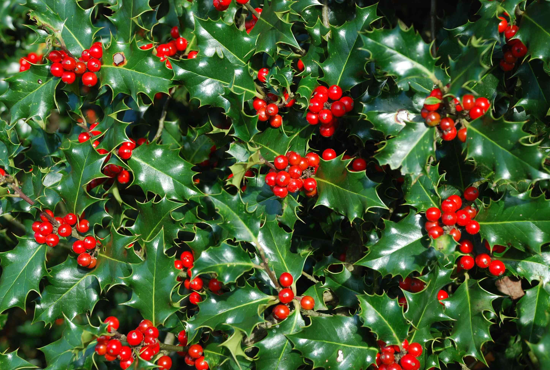 Падуб – вечнозеленое растение с заостренными листьями и красными ягодами