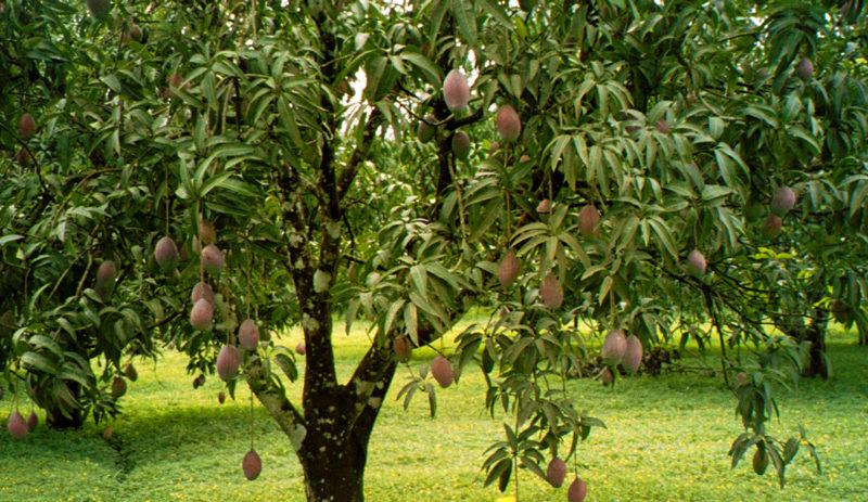 Плодоносящее манговое дерево