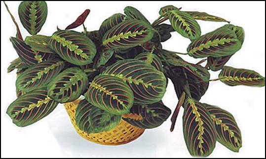 Цветок Маранта: обзор видов для комнатного выращивания