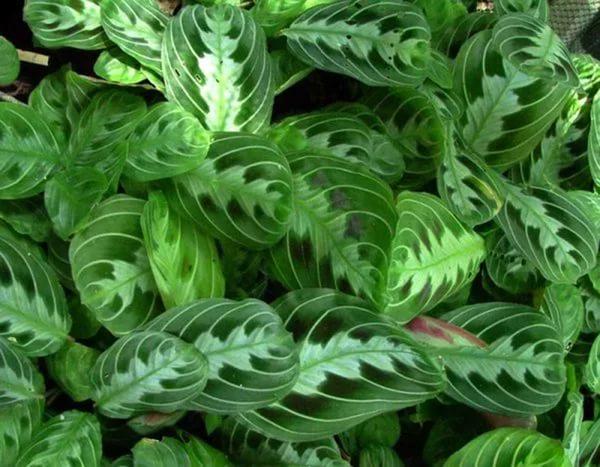 Листья украшает узор ярких пятен зеленого или бурого цвета