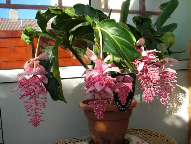 Комнатное растение Мединилла