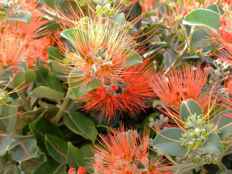 Во время цветения Метросидерос Томаса покрывается соцветиями красно-оранжевых оттенков