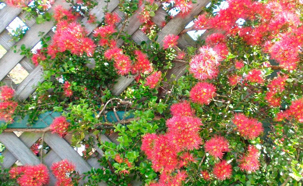 Это эффектная лиана, стебли которой покрыты мелкой листвой с глянцевым блеском
