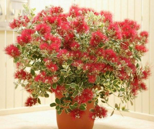 Растение Метросидерос