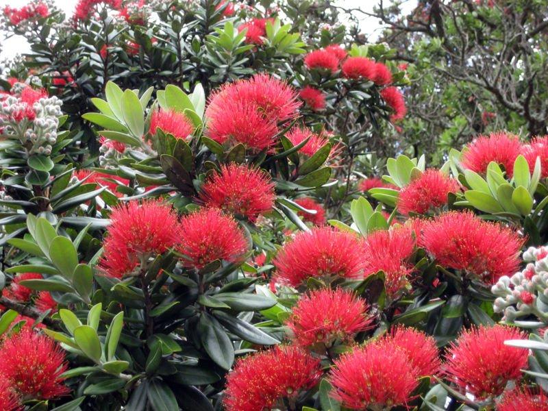 Соцветия напоминают пушистую метелку и приятно пахнут