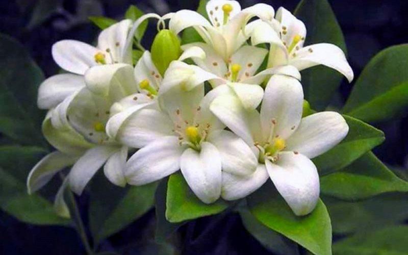Цветки муррайи похожи на сделанные из воска