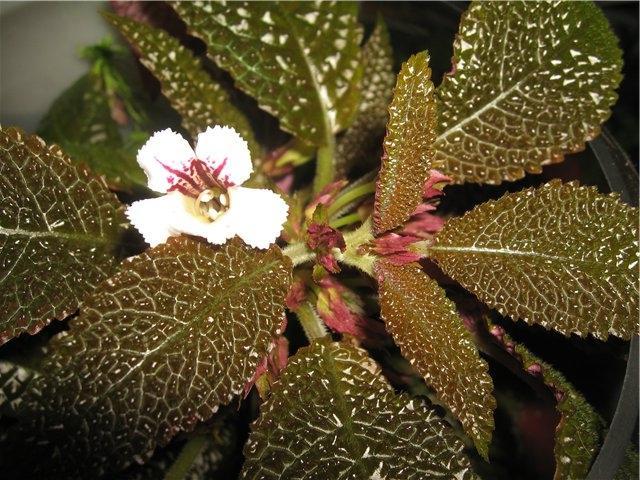 Наутилокаликс – оригинальное декоративнолиственное растение