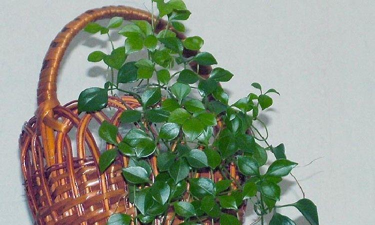 Неоальсомитру можно выращивать как ампельное растение