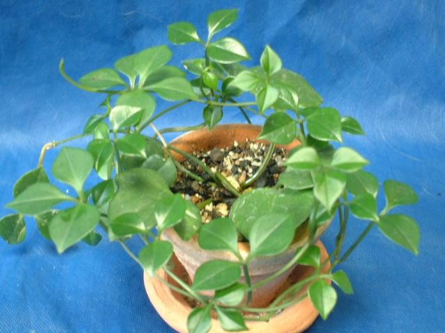 Растение Неоальсомитра