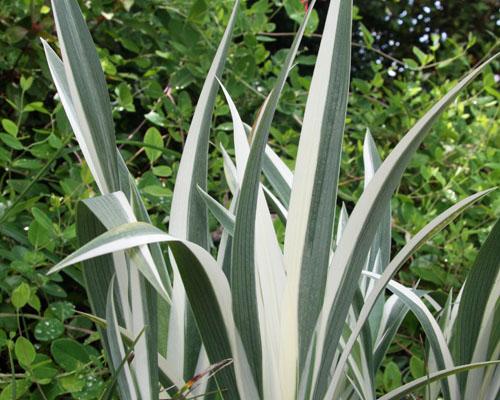 Неомарика Вариегатная имеет очень красивые пестрые листья