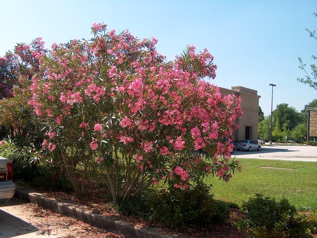 Цветущий куст олеандра