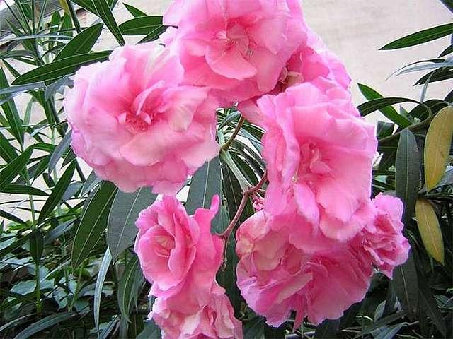 Махровые цветки олеандра