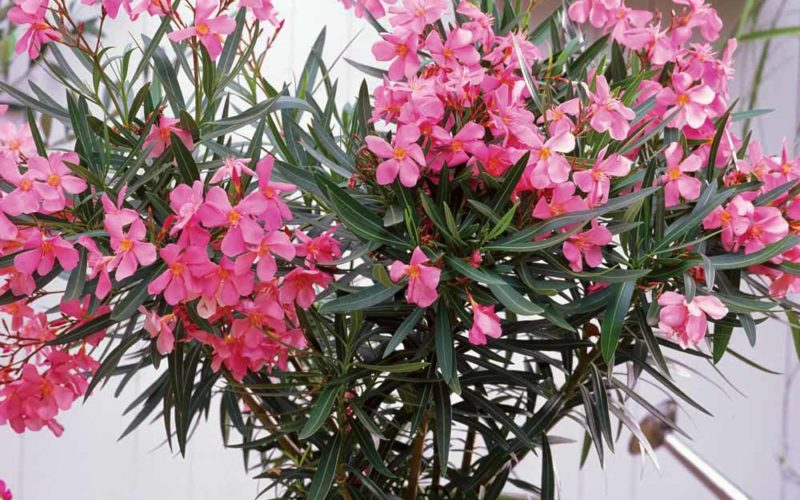 Горшок с цветущим олеандром