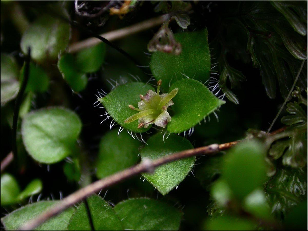 Цветы нертеры реснитчатой