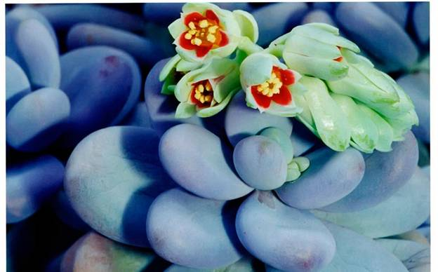 Цветущий пахифитум