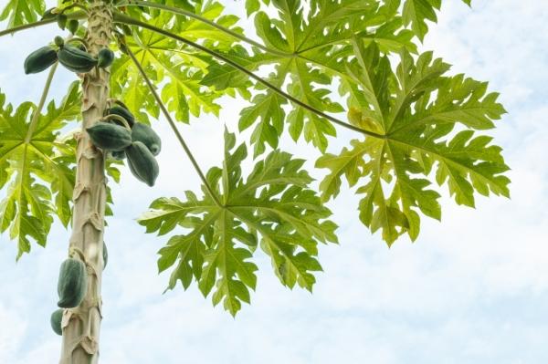 Папайя – растение, похожее на пальму с резными листьями