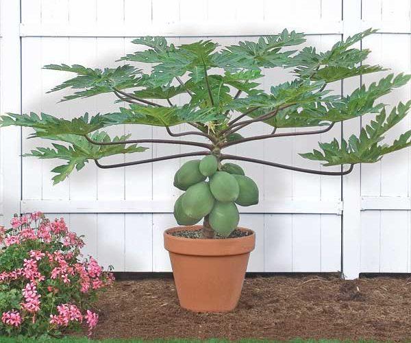 Растение Папайя