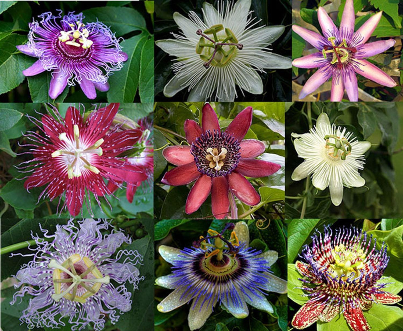 Цветки пассифлоры разнообразны