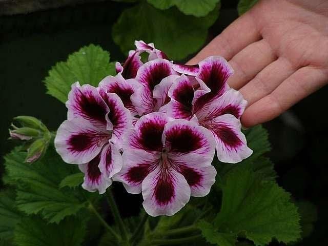 У Королевской Пеларгонии очень крупные цветки