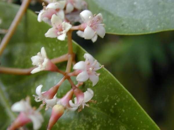Цветы пизонии
