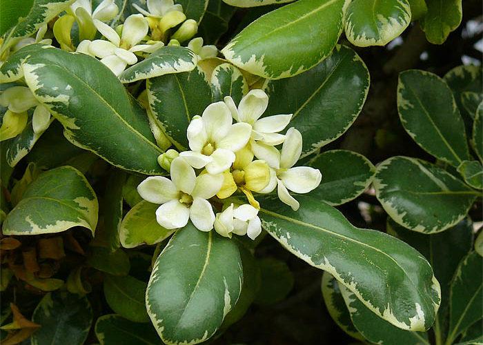 Растение Питтоспорум