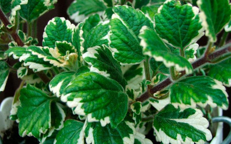 Растение Плектрантус
