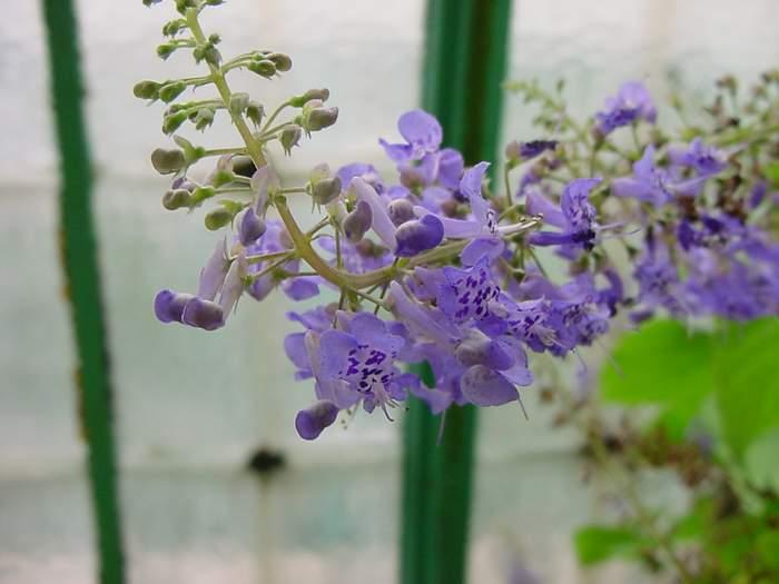 Цветок плектрантуса