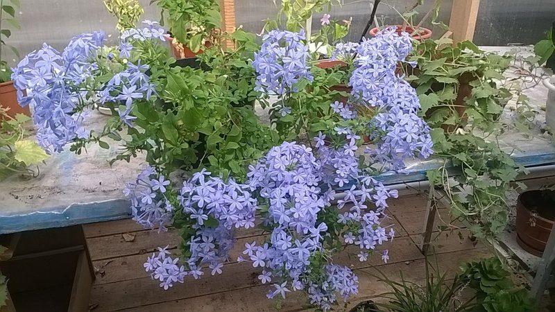 Растение Плюмбаго