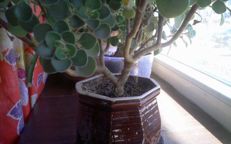 Ветвистое растение с мелкими округлыми листиками с ворсом