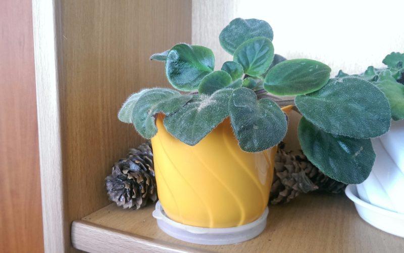 Небольшое растение (комнатный цветок) как называется?