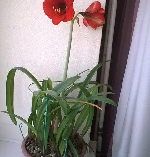 Цветет на подоконнике