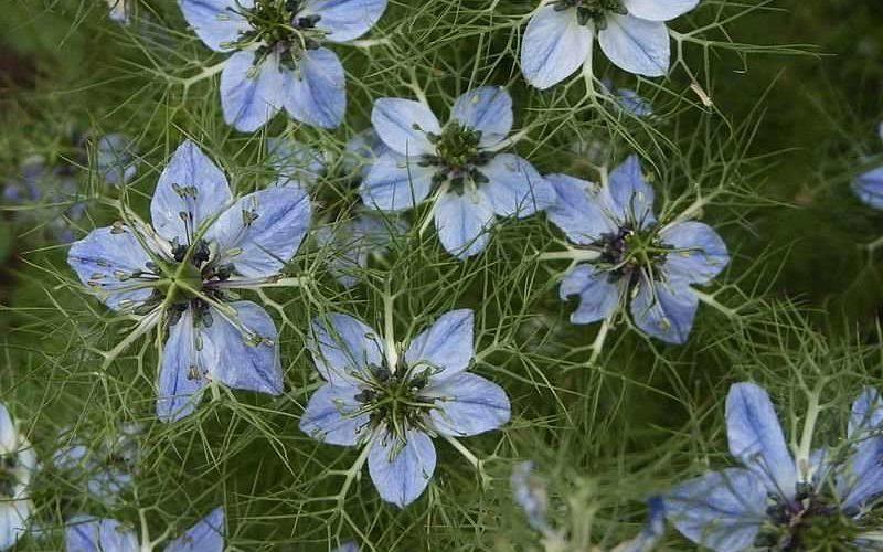 Голубые пятилистные цветочки