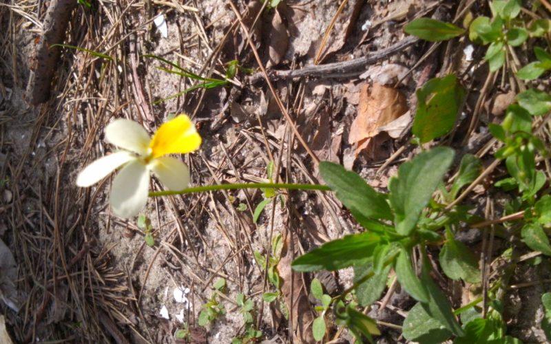 Небольшое растение с желто-белыми лепестками