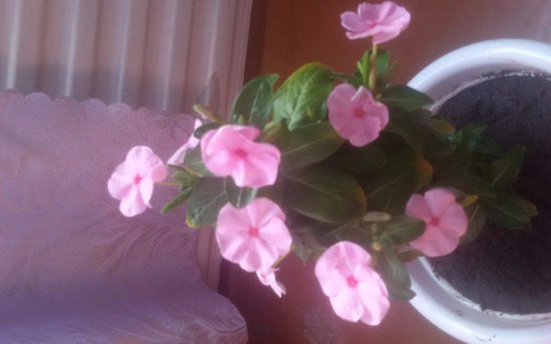 Зеленое растение с розовыми цветами