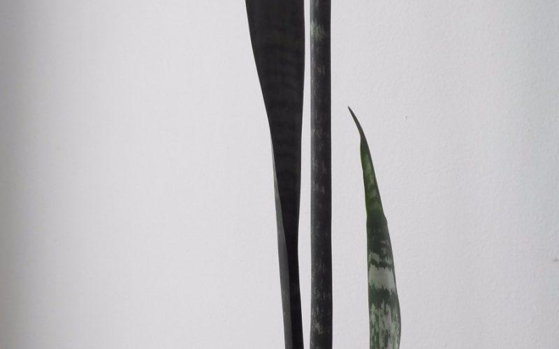 Растение с длинными и острыми листьями