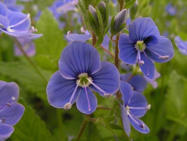 Синий цветок с четырьмя лепестками