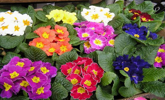 Первоцвет, отличаясь декоративностью, используется в ландшафтном дизайне и выращивается как комнатное растение