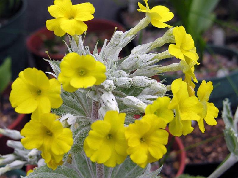 Отличается от своих родственниц сердцевидной формой листьев, покрытых беловатым налетом, мелкими желтыми цветками и приятным ароматом