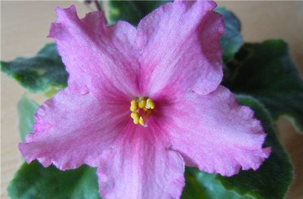 Звездчатый цветок. Сорт «Звезда Макуни»