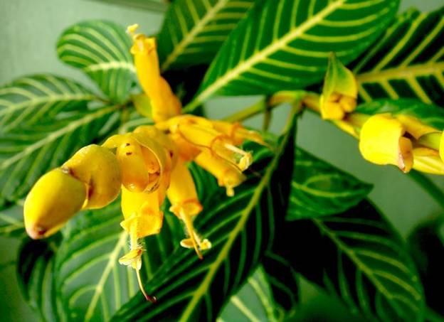 Цветок санхеции